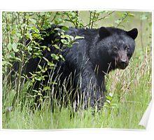 Black Bear Looking at Me  Poster