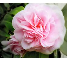 Begonia in Pink Photographic Print