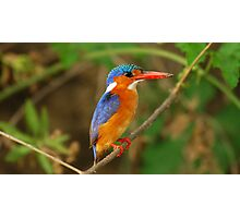 TANZANIA - Malachite Kingfisher Photographic Print