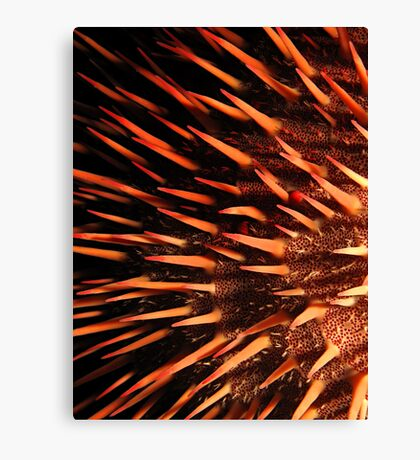 Red crown-of-thorns starfish Canvas Print