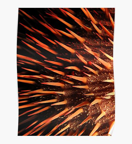Red crown-of-thorns starfish Poster