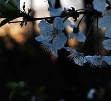 evening blossoms  by Jeff stroud