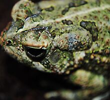 Fowler's Toad by toxxxickitten