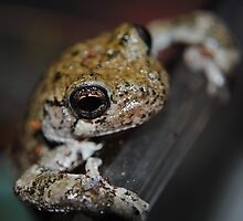 Grey Tree Frog 003 by toxxxickitten