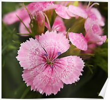 Pink Sweet William Poster