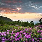 Craggy Gardens Bloom - Rhododendron at Sunset by Dave Allen