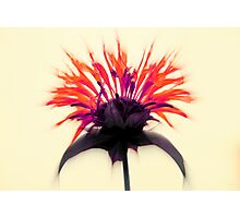 Limited Edition ~ Queen Monarda Photographic Print