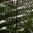 Fern Patterns #2 by Timothy Wilkendorf