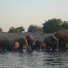 elephants, chobe river, botswana by nervouspilchard