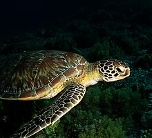 Green Sea Turtle by cooperscuba