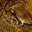 Devoted Parent (Hermit Thrush) by Robert Miesner