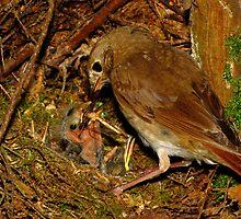Devoted Parent (Hermit Thrush) by Robert Miesner