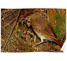 Devoted Parent (Hermit Thrush) Poster