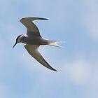 Common Tern (Sterna hirundo) by larry flewers