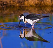 061111 Black Necked Stilt by Marvin Collins