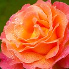 A Rose in the  Morning by the57man