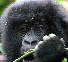Juvenile Mountain Gorilla, Kwitonda Group, Rwanda, East Africa.  by Carole-Anne