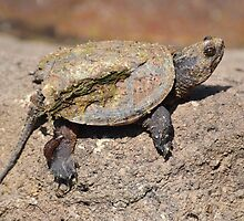 Turtle caked with mud. by William Brennan