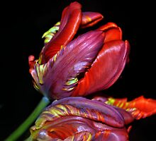 Tulips by Jane  mcainsh