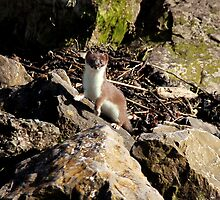 Stoat.  Taken at the RSPB Reserve near Conwy. by steveransome