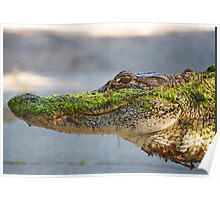 Gator up Close and Personal Poster