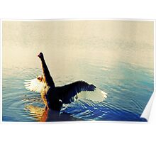Black swan flapping his wings Poster