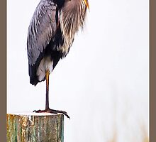 Great Blue Heron by Elizabeth Kraker