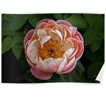 Delicate peony Poster