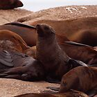 Cape Fur Seals on Duiker Island by Magic-Moments