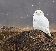 Snowy Owl on hay bale by Greg Schneider