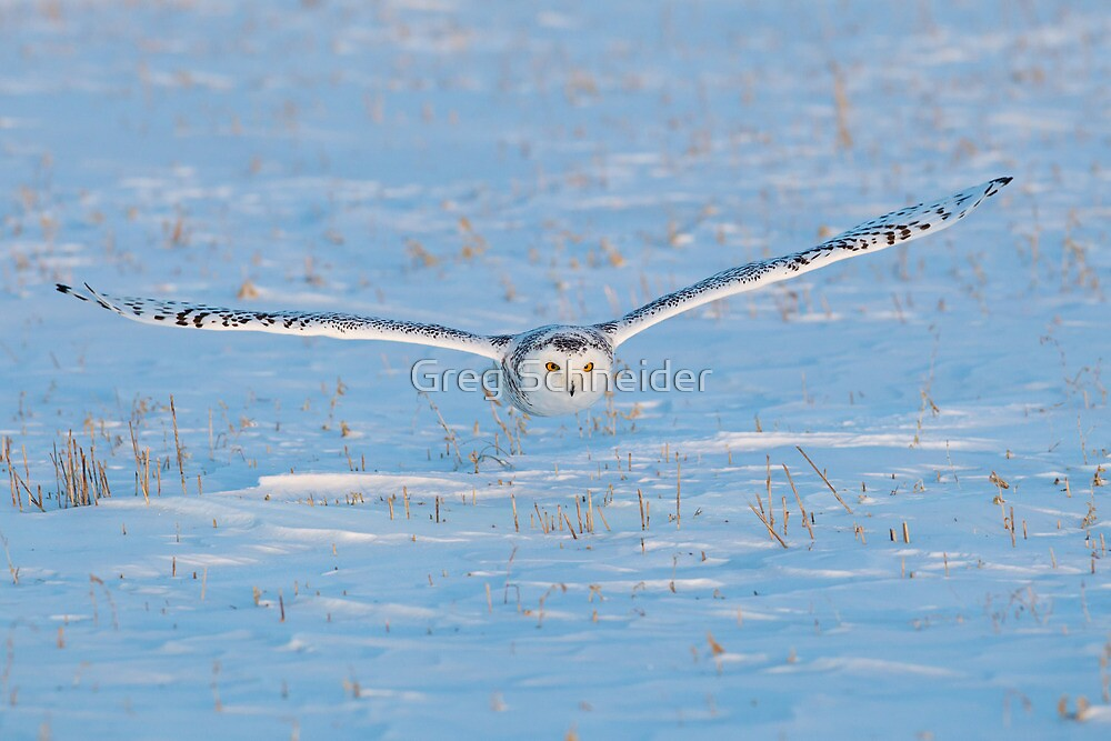 Snowy Owl flying low to the ground by Greg Schneider
