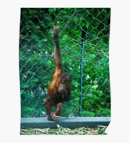 """Sweet Face"" Young Orangutan at Cheyenne Mountain Zoo Poster"