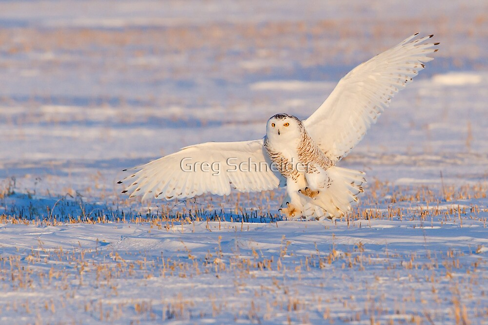 Snowy Owl landing at sunset by Greg Schneider
