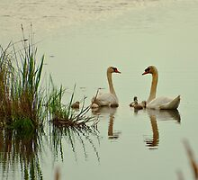 Swan Pair with Cygnets by ArianaMurphy