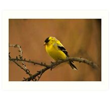 Goldfinch in Changing Plumage Art Print
