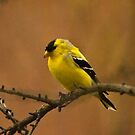 Goldfinch in Changing Plumage by ArianaMurphy