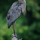 Drenched Great Blue Heron by Joe Jennelle