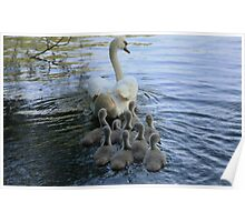 Mother Swan And Cygnets Poster