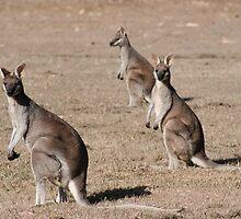 Kangaroos of Cania George by sueyo