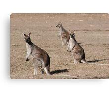Kangaroos of Cania George Canvas Print