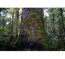 Moss only Grows on old trees Photographic Print
