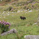 """ Ewe & Lamb ""Nephin Drive,To Crossmolina,,Co Mayo,Ireland. by Pat Duggan"