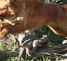 Cozzie the toller Flys! by littlewings