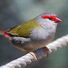Red-Browed Finch by Stephanie Ohnesorge