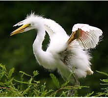 Baby Great White Egret Photographic Print