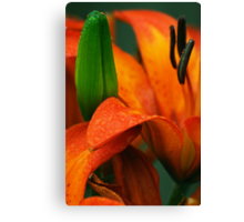 Orange lily with green bud Canvas Print