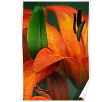 Orange lily with green bud Poster