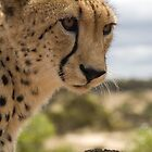 Up Close and Personal - Cheetah by nicolebartsch