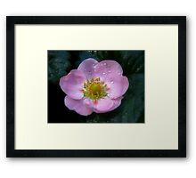 Pink Strawberry Flower Framed Print