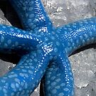 Blue Starfish - Pohnpei, Micronesia by Alex Zuccarelli